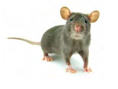 Exterminación de ratones