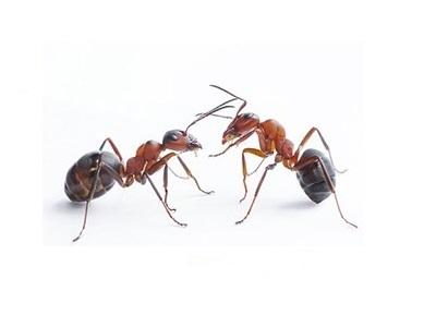 Desinsectación de hormigas