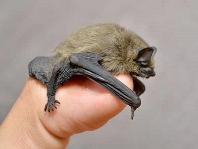 Plagas de murciélagos